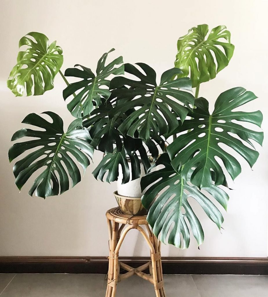 گیاه برگ انجیری