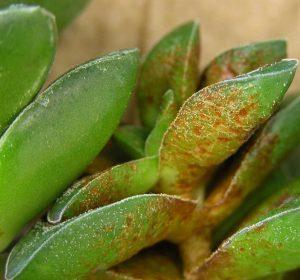 بیماری های گیاه کراسولا خرفه ای