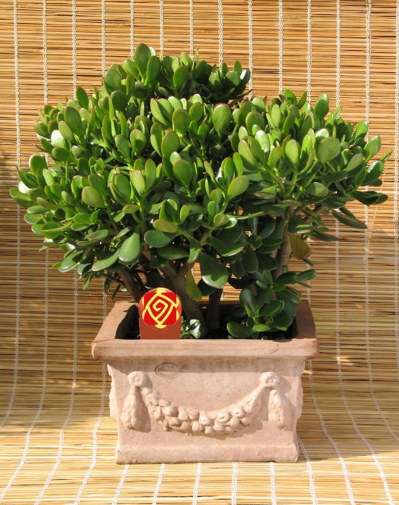 گیاه کراسولا خرفه ای