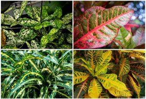 چند نمونه از گونه های مختلف کروتون