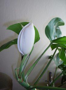 گل برگ انجیری