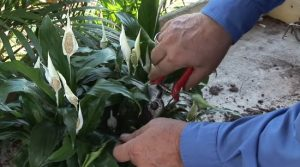 هرس کردن گل چمچه ای