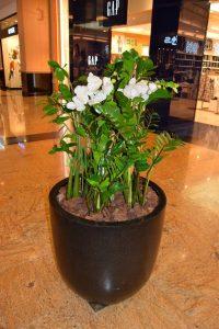 گل زاموفیلیا