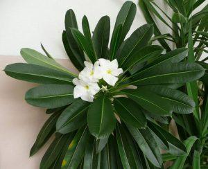 گل های ماداگاسکار