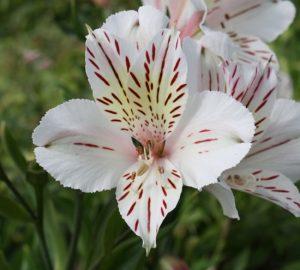 گل آلسترومریا سفید