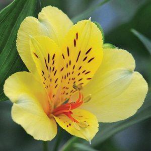 گل آلسترومریا زرد