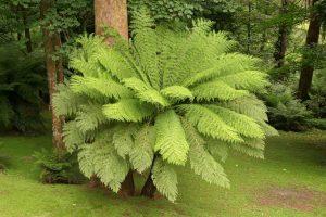 سرخس درخت استرالیایی
