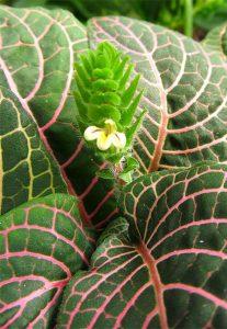 گل گیاه فیتونیا