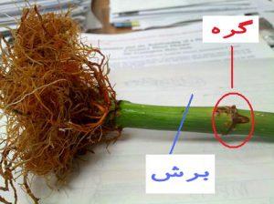 تکثیر گیاه لاکی بامبو