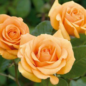 گل رز چای