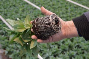 ازدیاد ریشه های لیسیانتوس