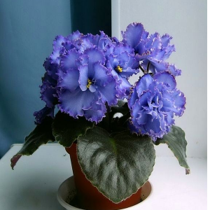 رنگ آبی گل بنفشه آفریقایی