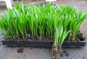 تکثیر نخل اریکا به روش کاشت بذر
