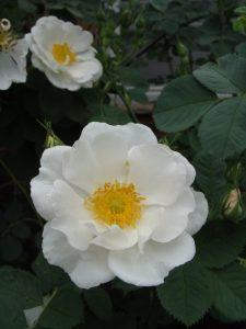 گل رز آلبا