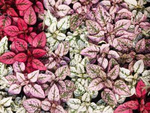 تنوع رنگ گل سنگ