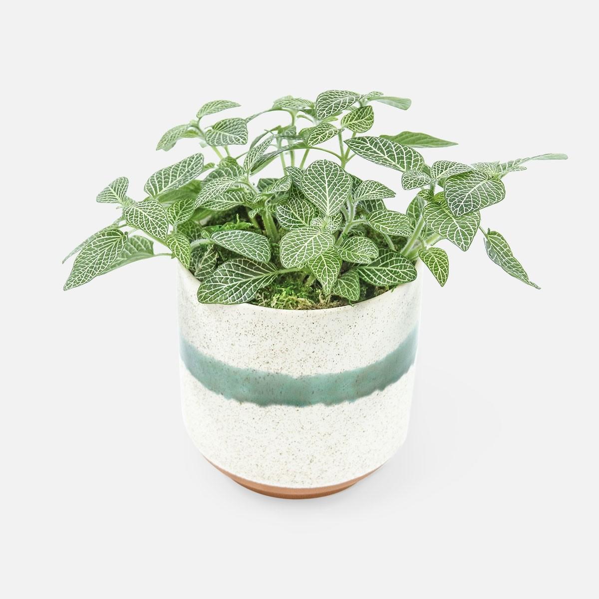 گیاه فیتونیا