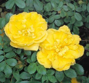 گل رز نسترن زرد
