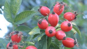 میوه گل رز