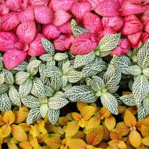 گیاه فیتونیا در رنگ های مختلف