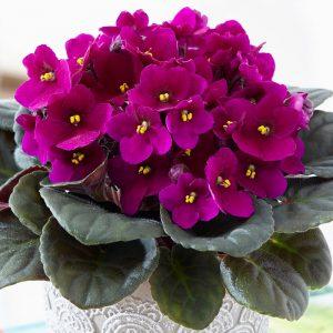 رنگ صورتی گل بنفشه آفریقایی