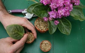 تعویض گلدان گل بنفشه آفریقایی