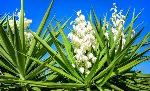 گونه گلدار یوکا