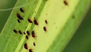بیماری ها و آفات گیاه یوکا