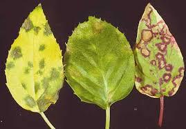 انواع بیماری های برگ گل فوشیا