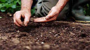 تکثیر شیپوری از طریق بذر