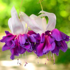 رنگ ارغوانی گل فوشیا