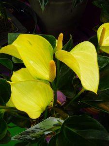 رنگ زرد گل آنتوریوم