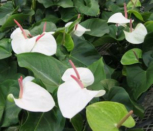 رنگ سفید گل آنتوریوم