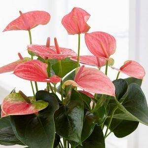رنگ صورتی گل آنتوریوم