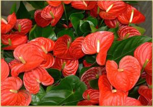رنگ نارنجی گل آنتوریوم