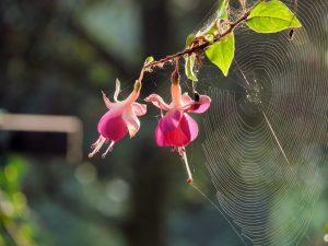 کنه تار عنکبوت بر روی گل فوشیا
