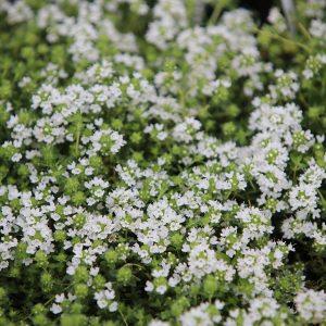 رنگ سفید گیاه آویشن