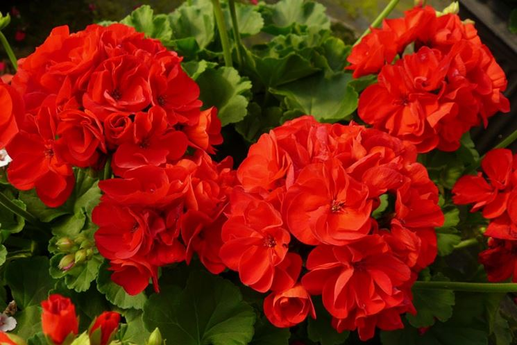 گل شمعداني
