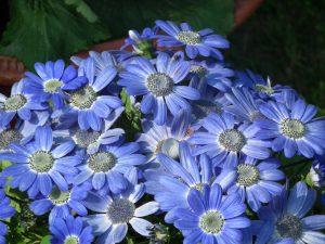 رنگ آبی سینره