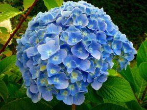 رنگ آبی هورتانسیا