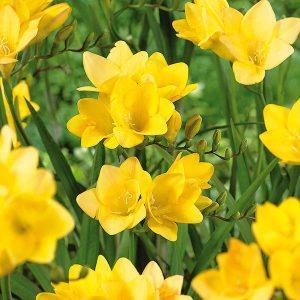 رنگ زرد فریزیا