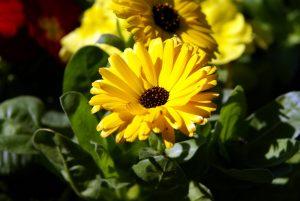 رنگ زرد همیشه بهار
