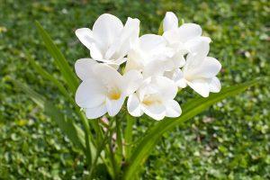 رنگ سفید فریزیا