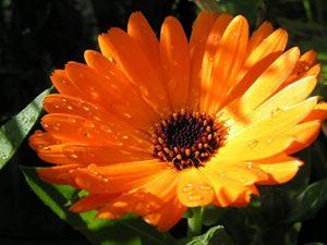 رنگ نارنجی همیشه بهار