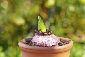پرورش گل سنبل در گلدان