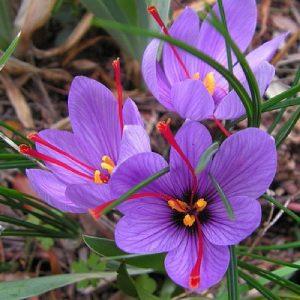 گیاه زعفران بنفش