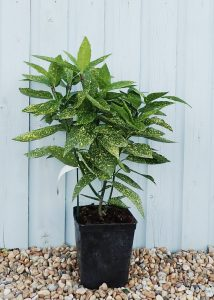 درختچه ی آکوبا گلدانی