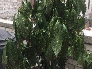 بیماری های درختچه ی آکوبا