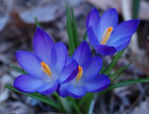 گیاه زعفران آبی