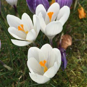 گیاه زعفران سفید