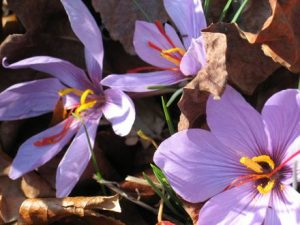 آفات و بیماری های گیاه زعفران